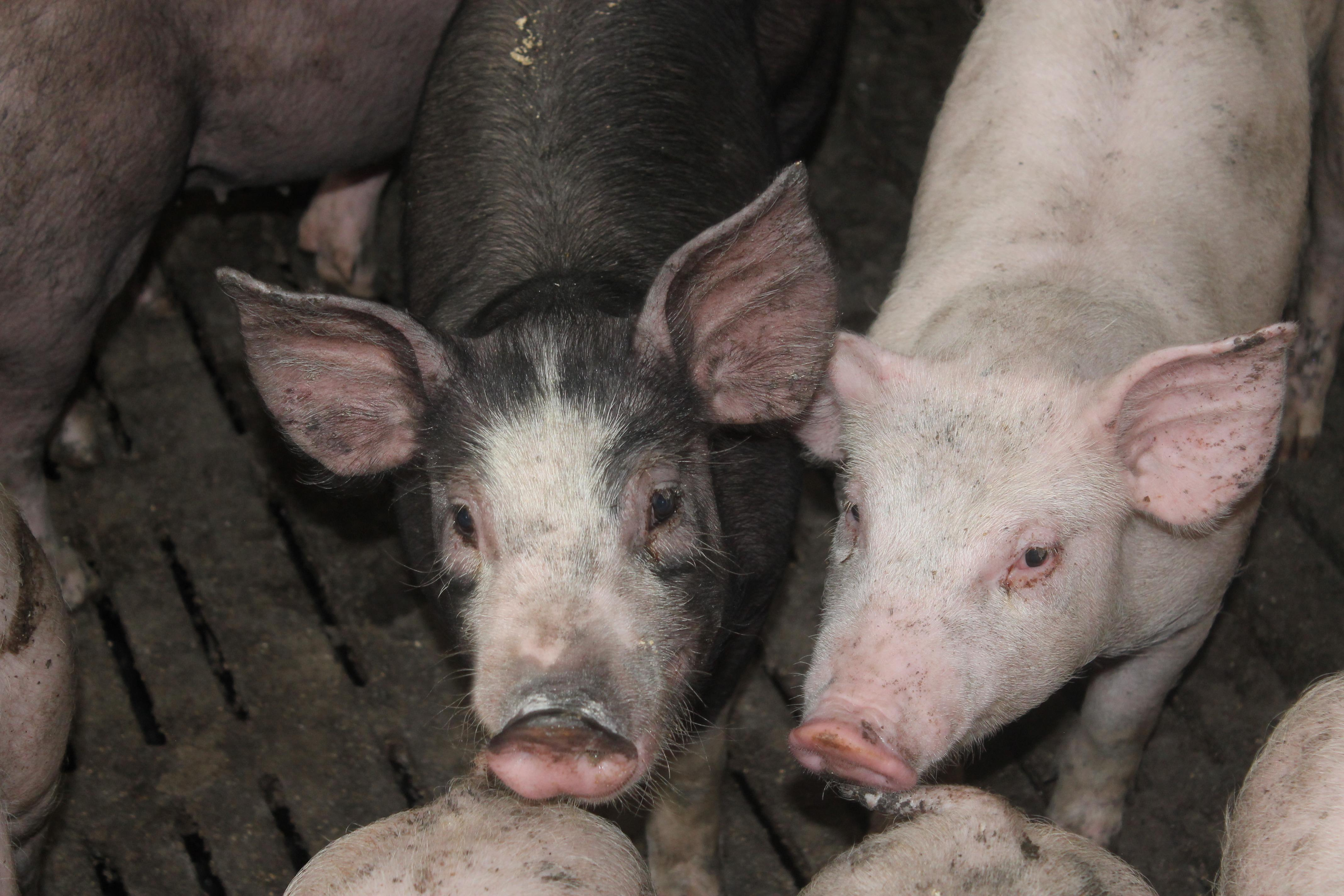 porcs charcutiers VIVANTS, au kilo.