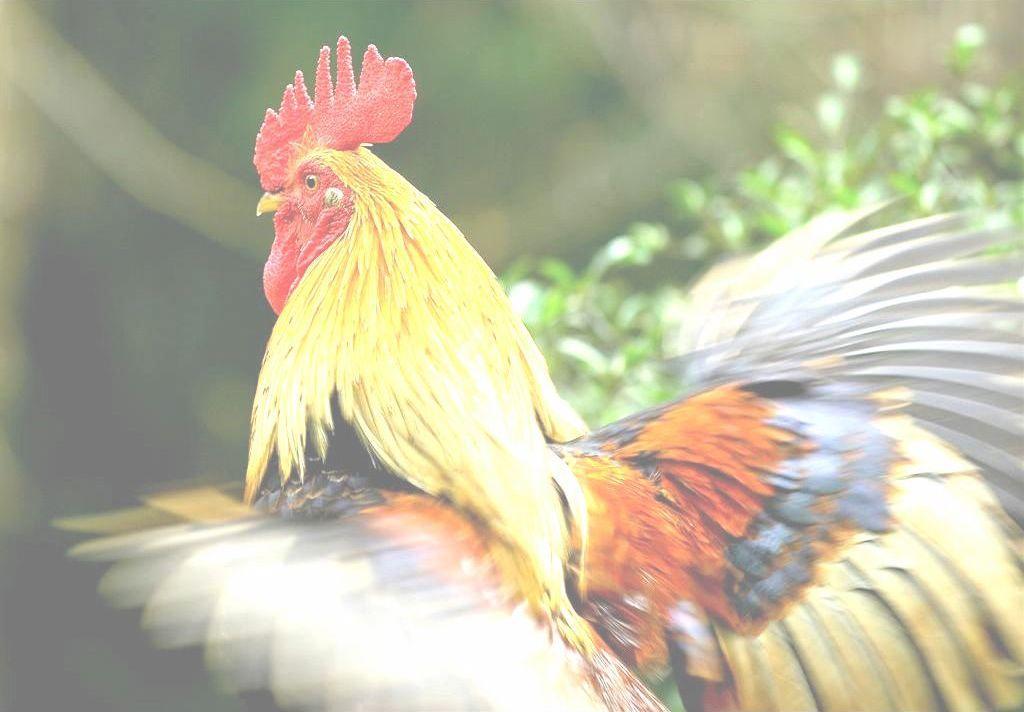 Poulets prêt à cuire