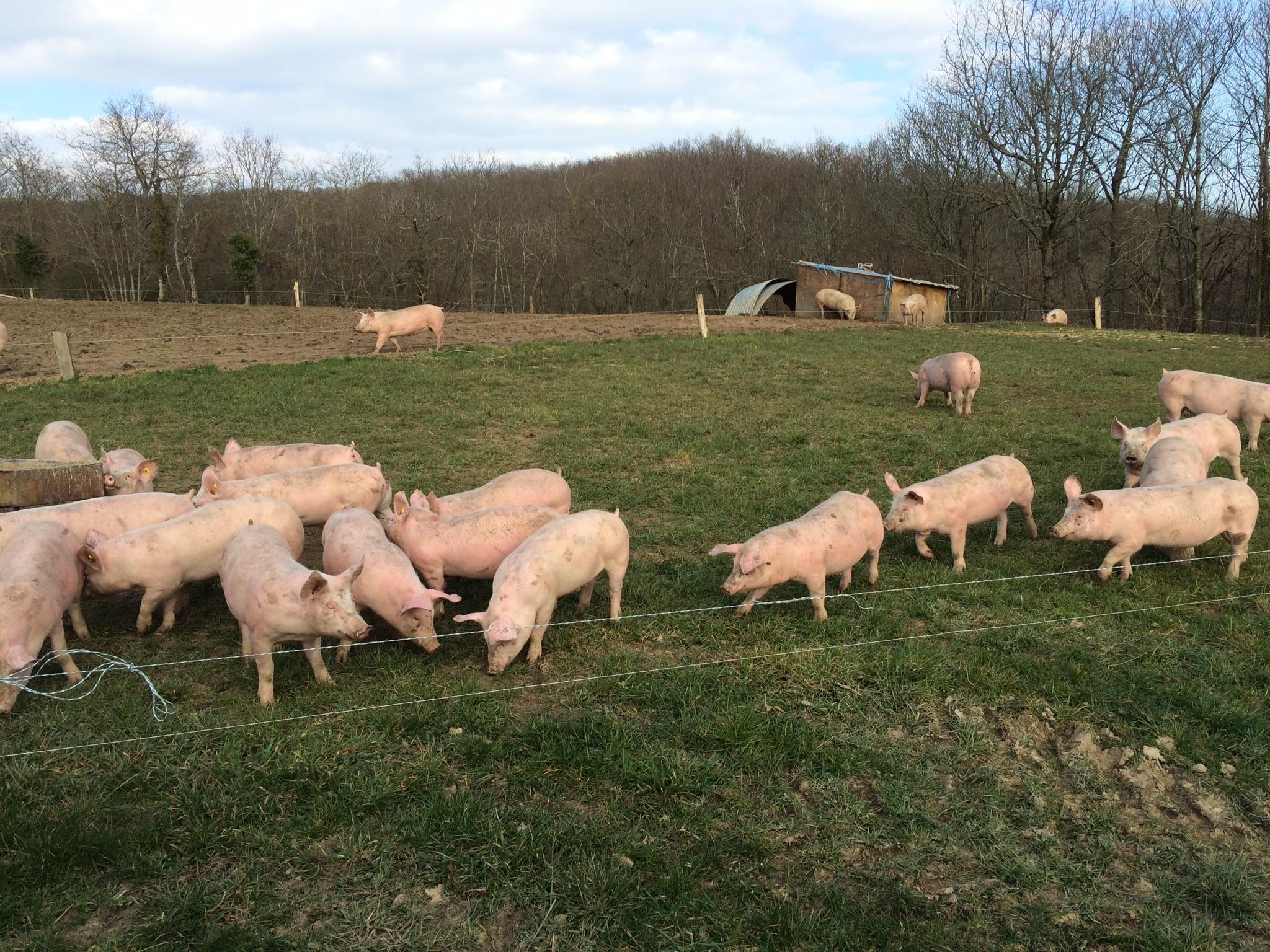 Colis de viande de cochon élevé en plein air