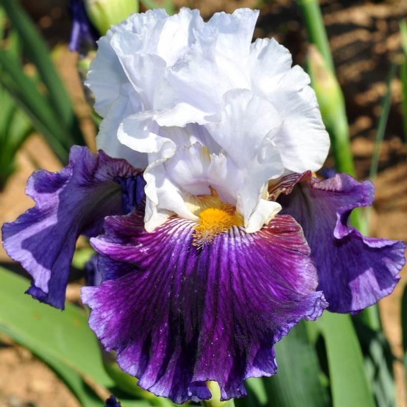 Grands iris de jardins