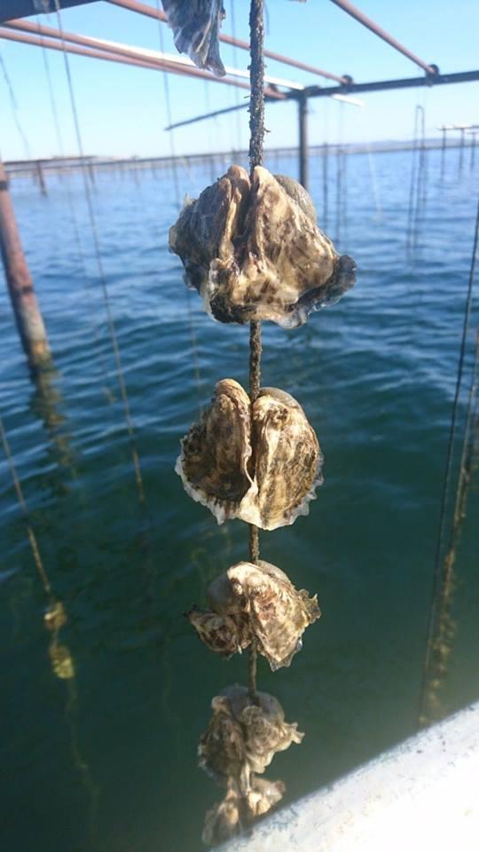 Huîtres de Thau n°4