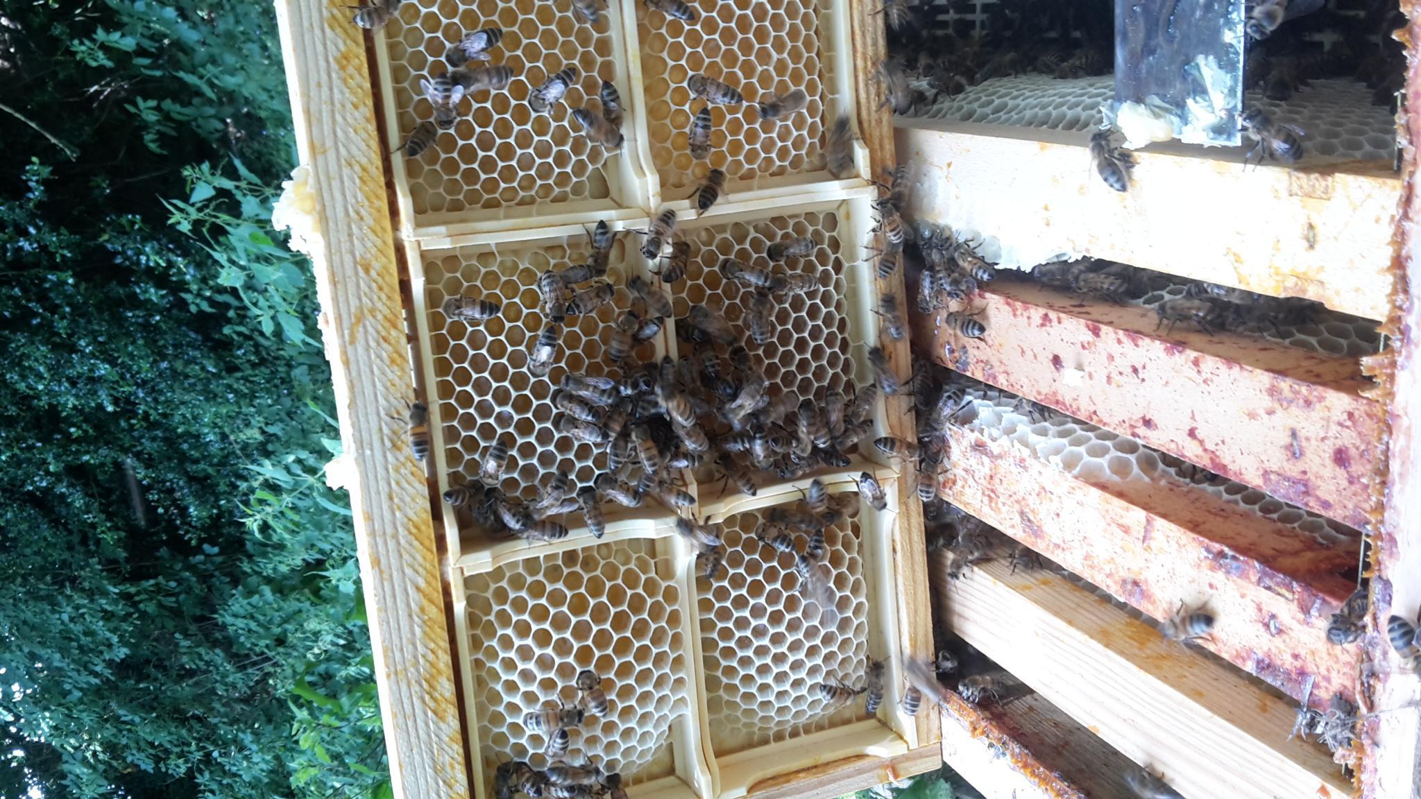 Miel en section dans la ruche