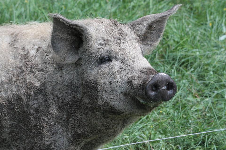 Porc elevé en plein air- Mangalitsa
