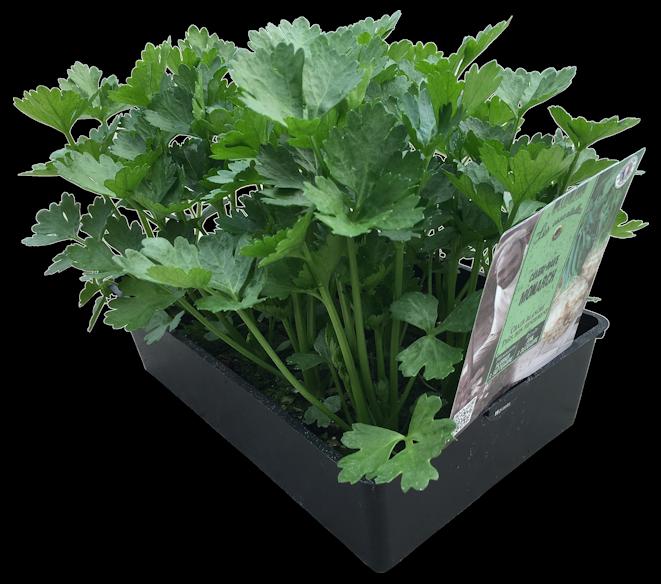 Plants de légumes fuchsia-delhommeau