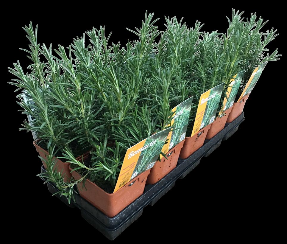 Plantes Aromatiques fuchsia-delhommeau