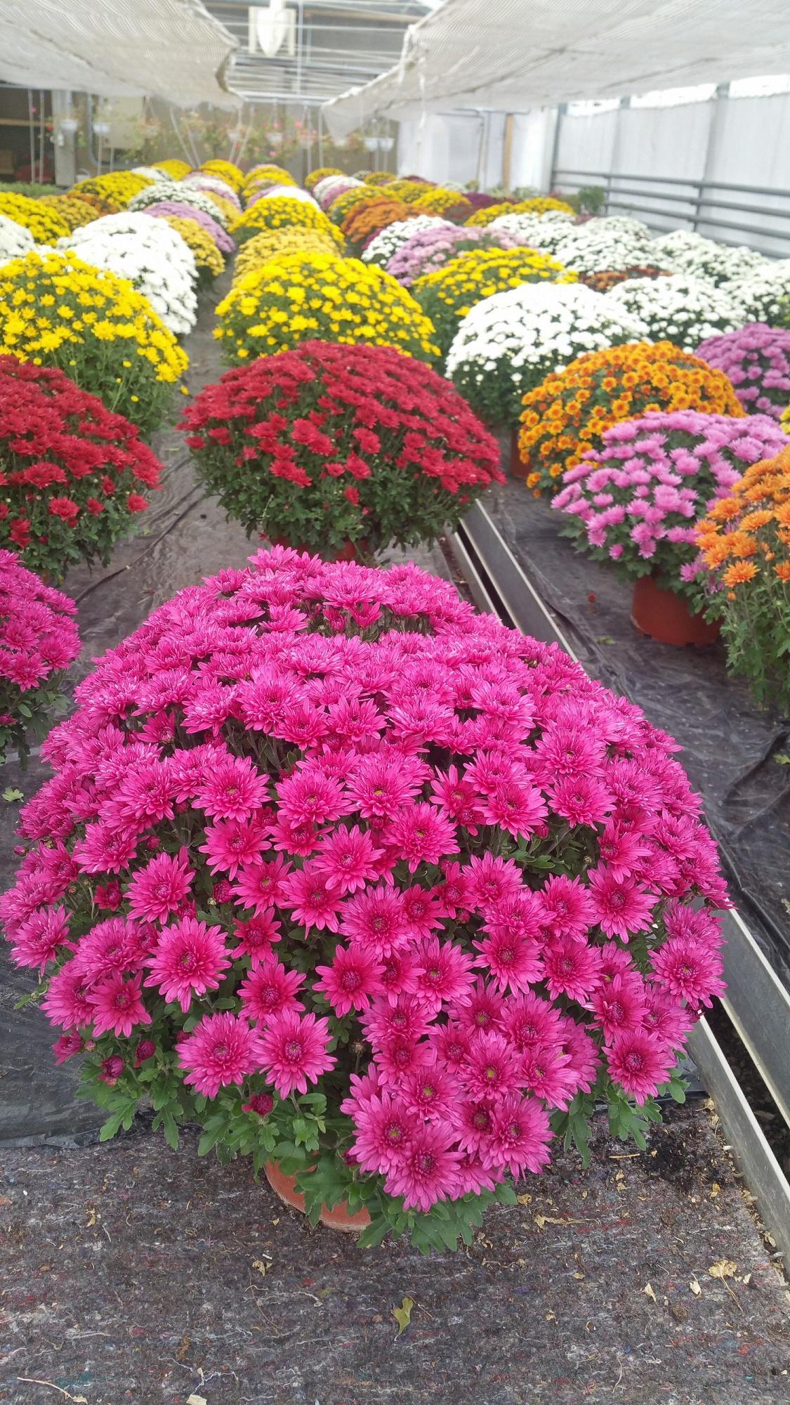 Chrysanthème Pomponettes