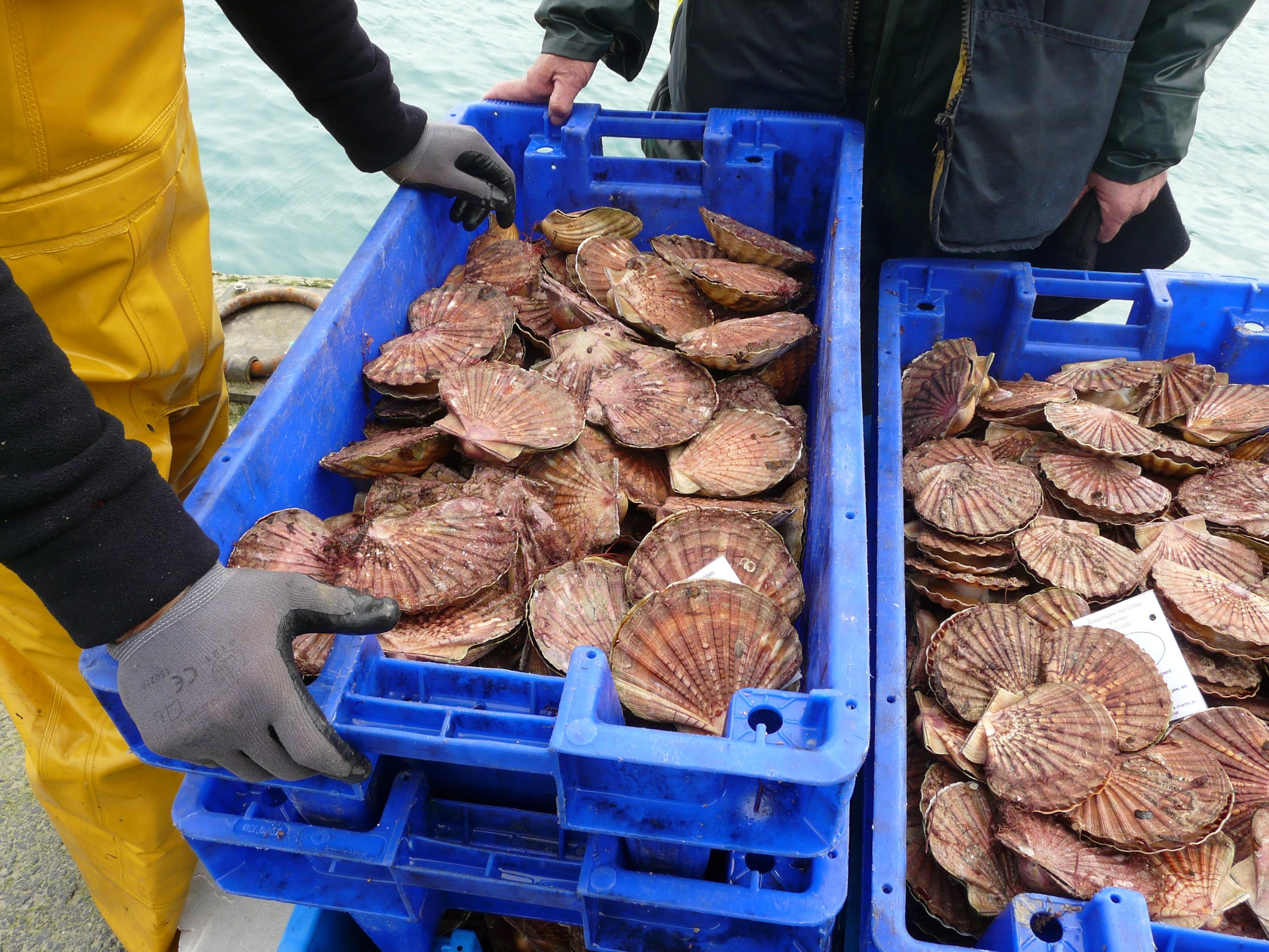 Coquilles Saint-Jacques de la baie de Saint-Brieuc pêchées en plongée 5 kg