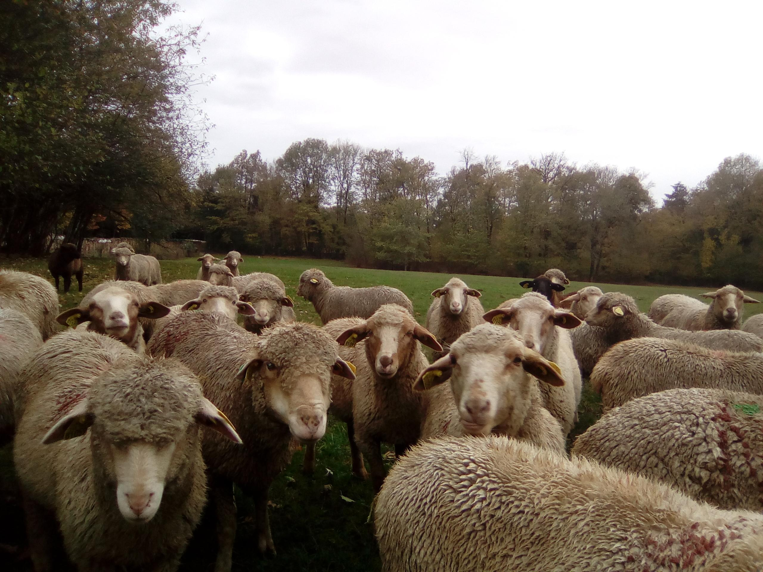 Brebis et agneaux du jura