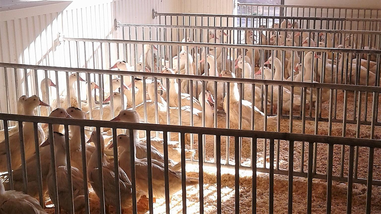 canard gras sans le foie