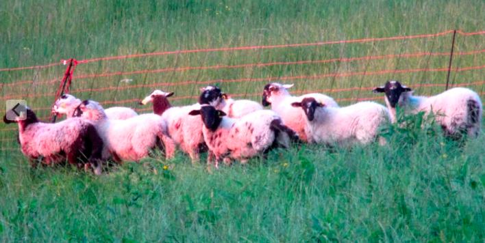 agneau vivant certifié AB