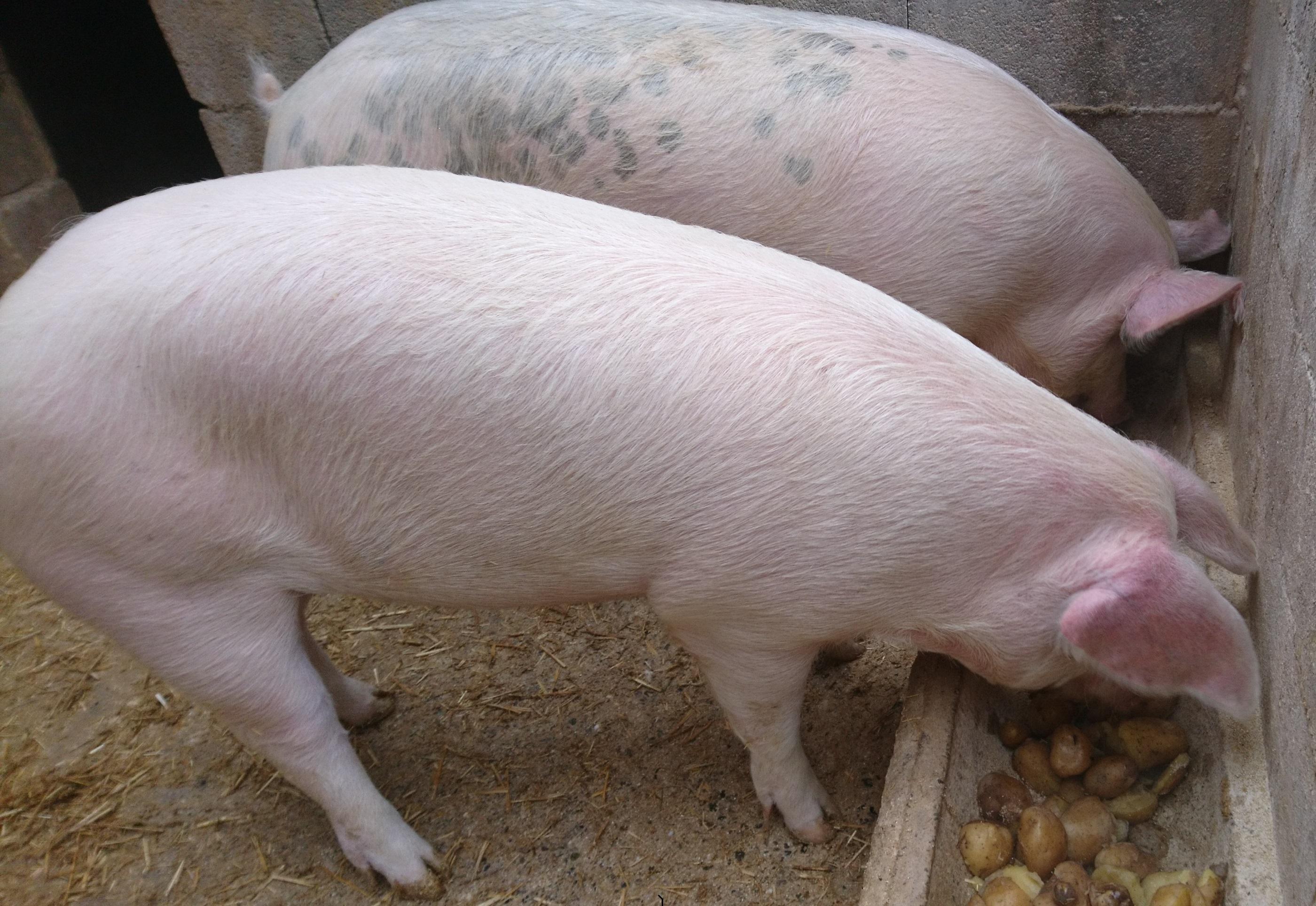 Caissette de porc