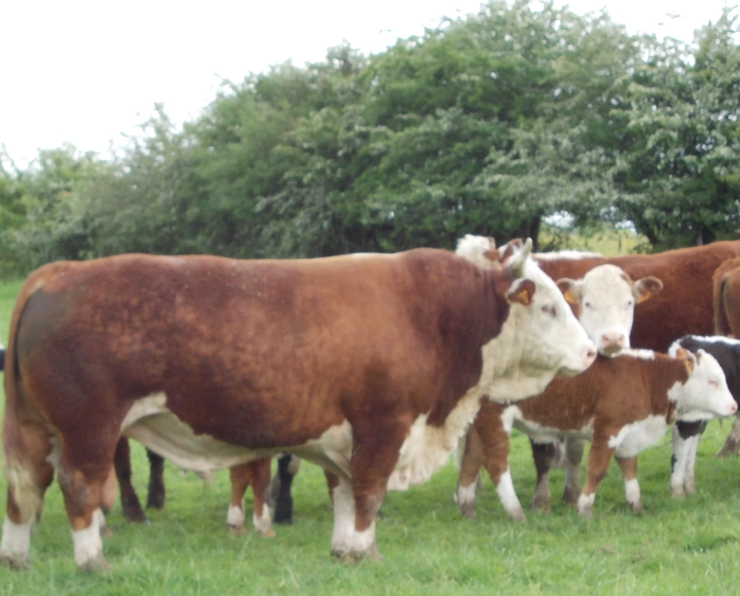 Boeuf/Broutard Hereford