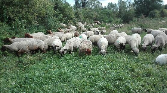 caissettes de 1/2 agneau découpés et sous vide