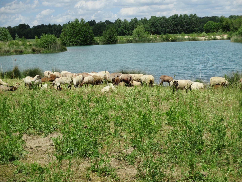 agneau entier non découpé