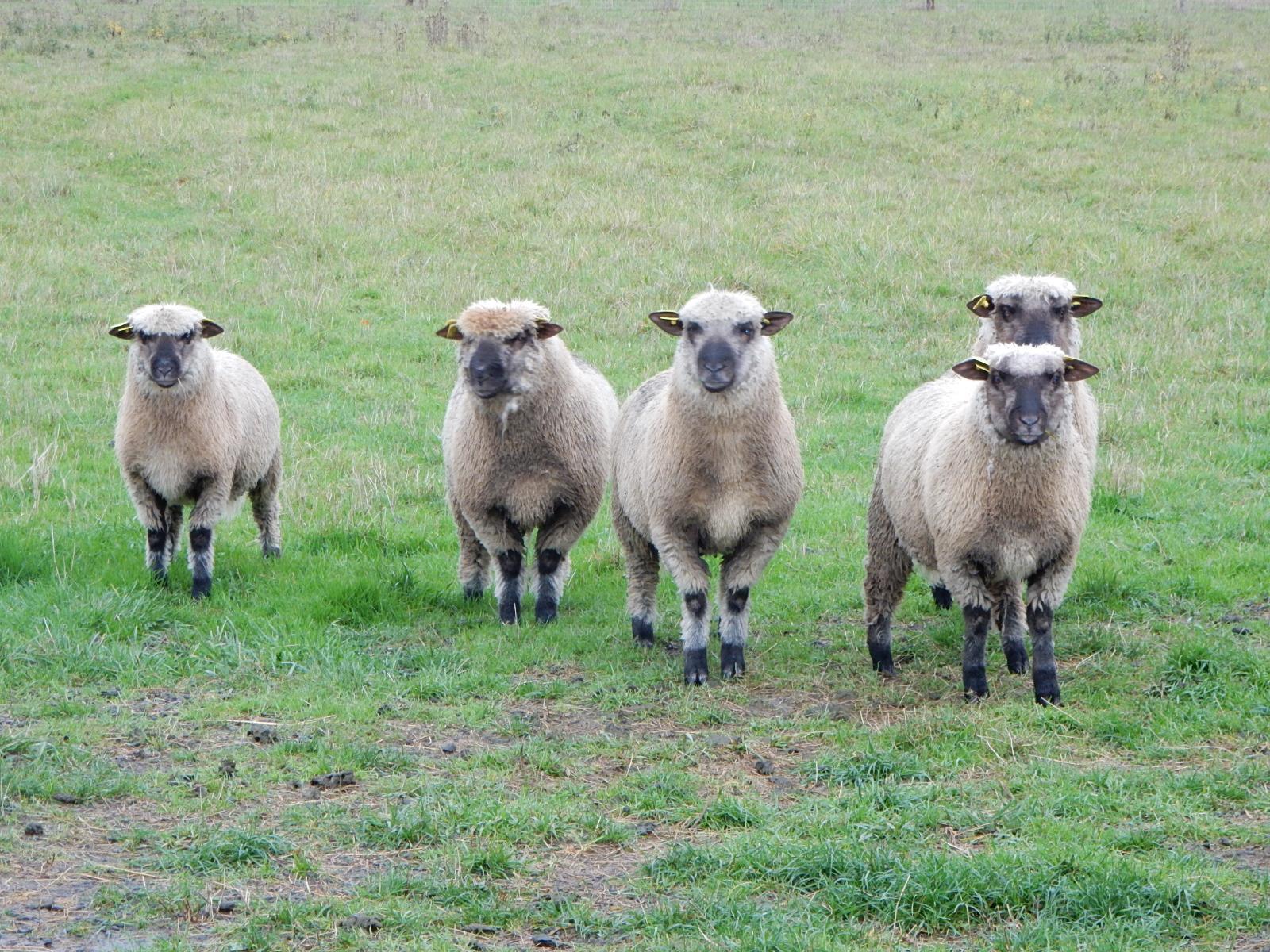 caissette agneau Bio