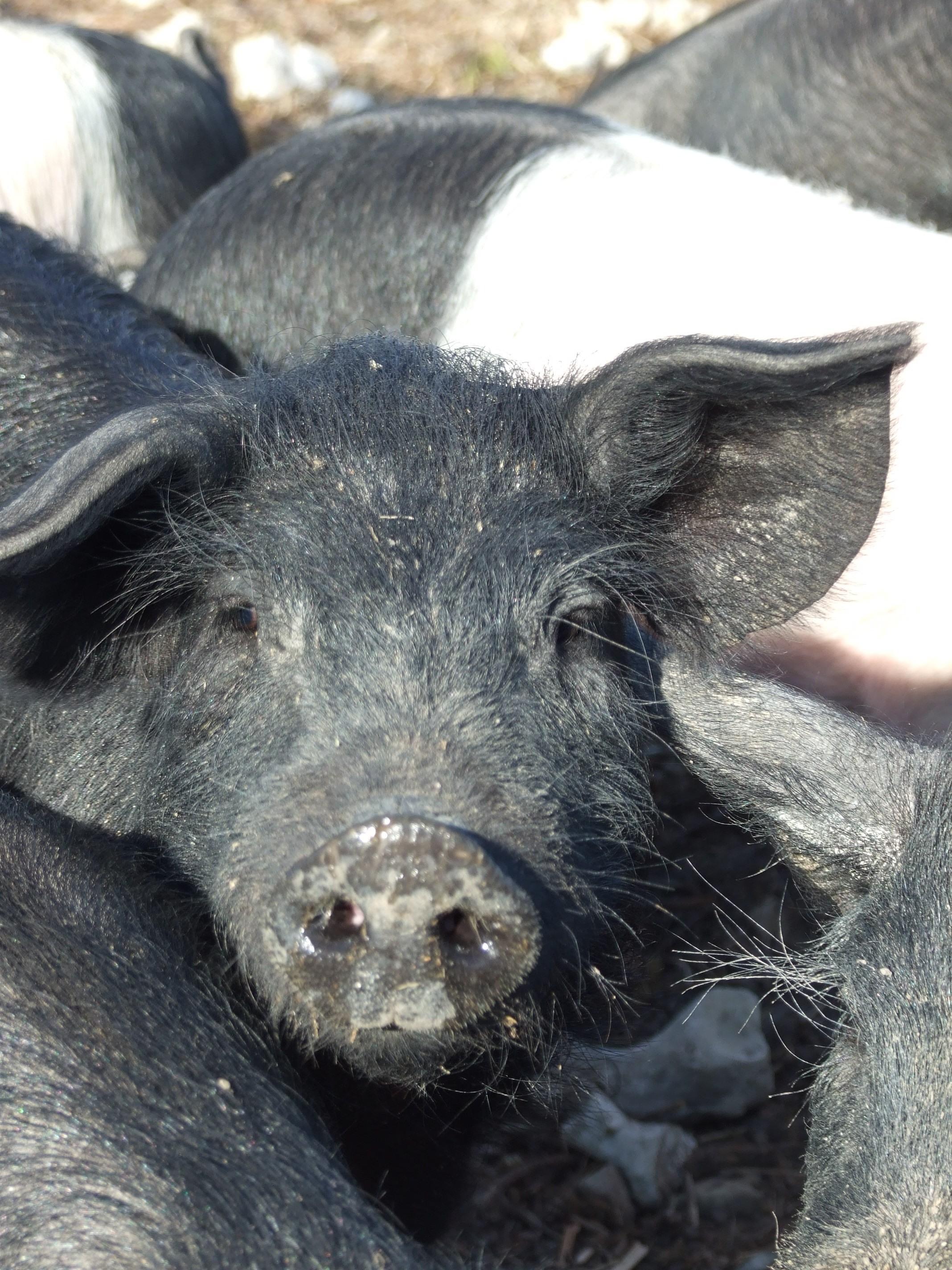 Porc sous vide Bio