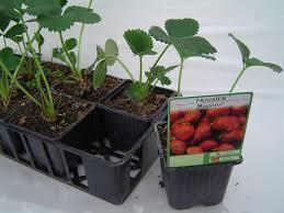 pied de fraises