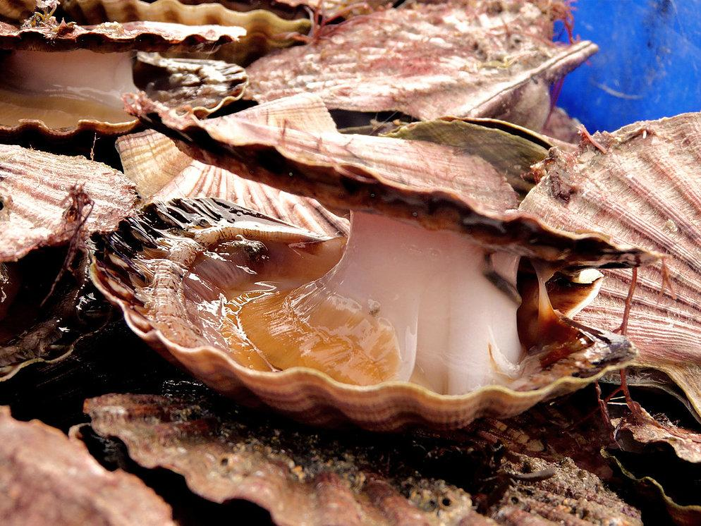 Coquilles Saint-Jacques de la baie de Saint-Brieuc pêchées en plongée 10 kg