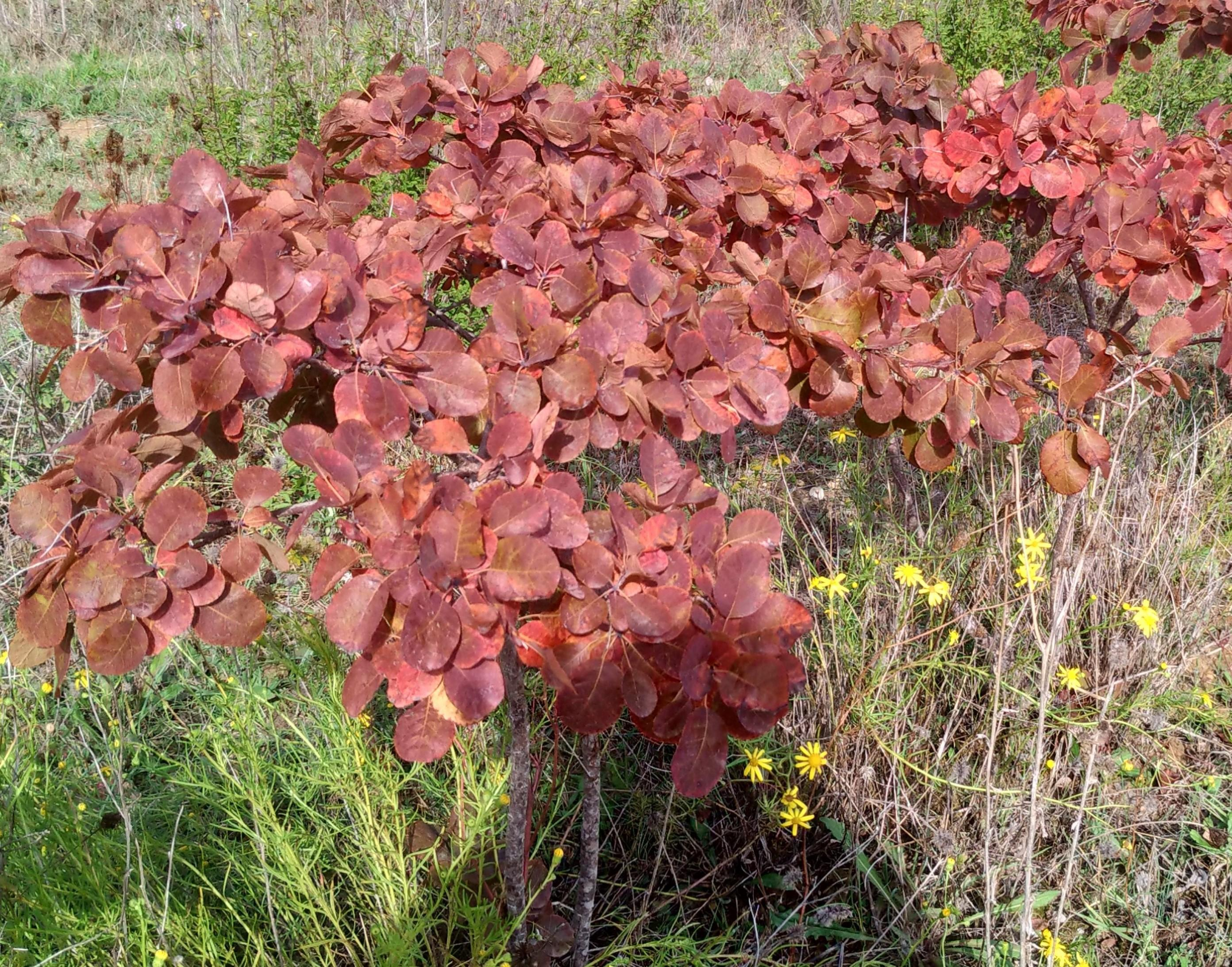 Cotinus coggigria 'Royal Purple' 80/100
