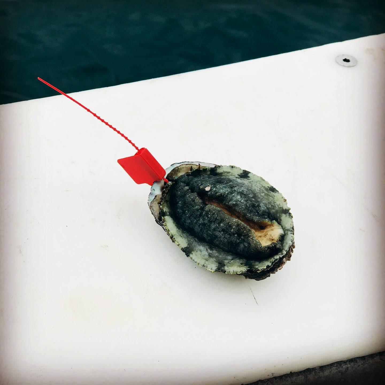 Ormeaux pêchés en plongée dans la baie de Saint-Brieuc - lot de 8 pièces