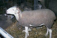caissette d'agneaux