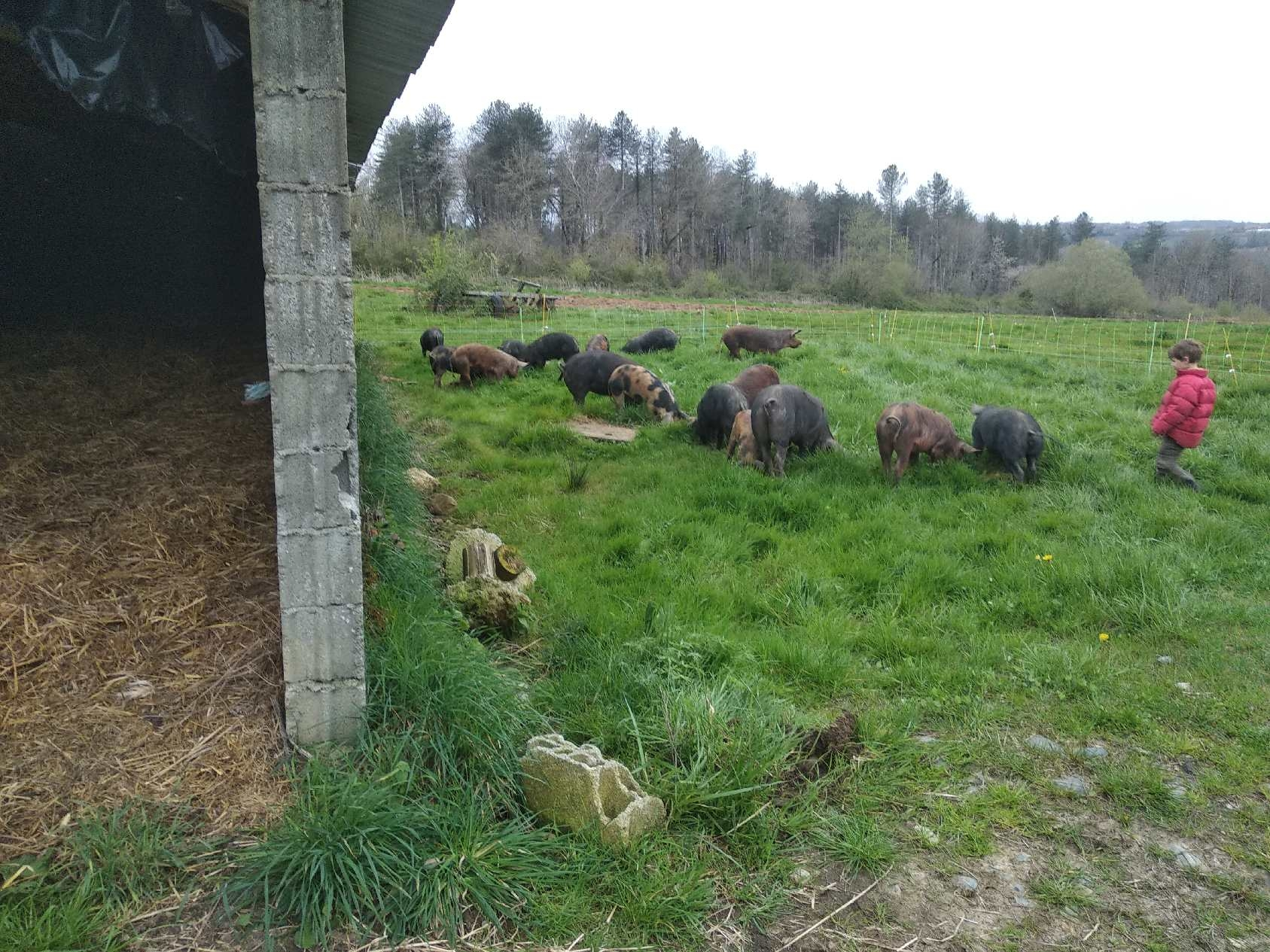 Colis de porc croisés noir et duroc