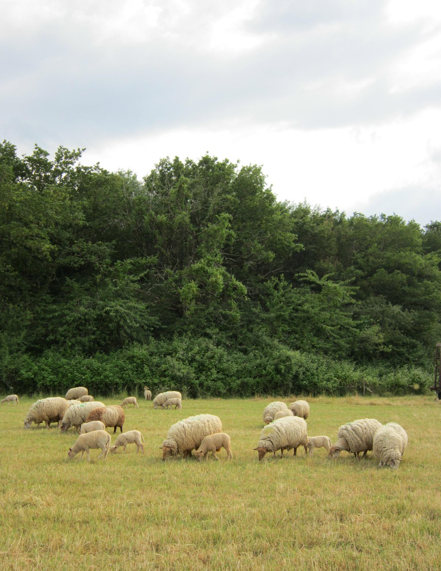 Colis viande d'agneau
