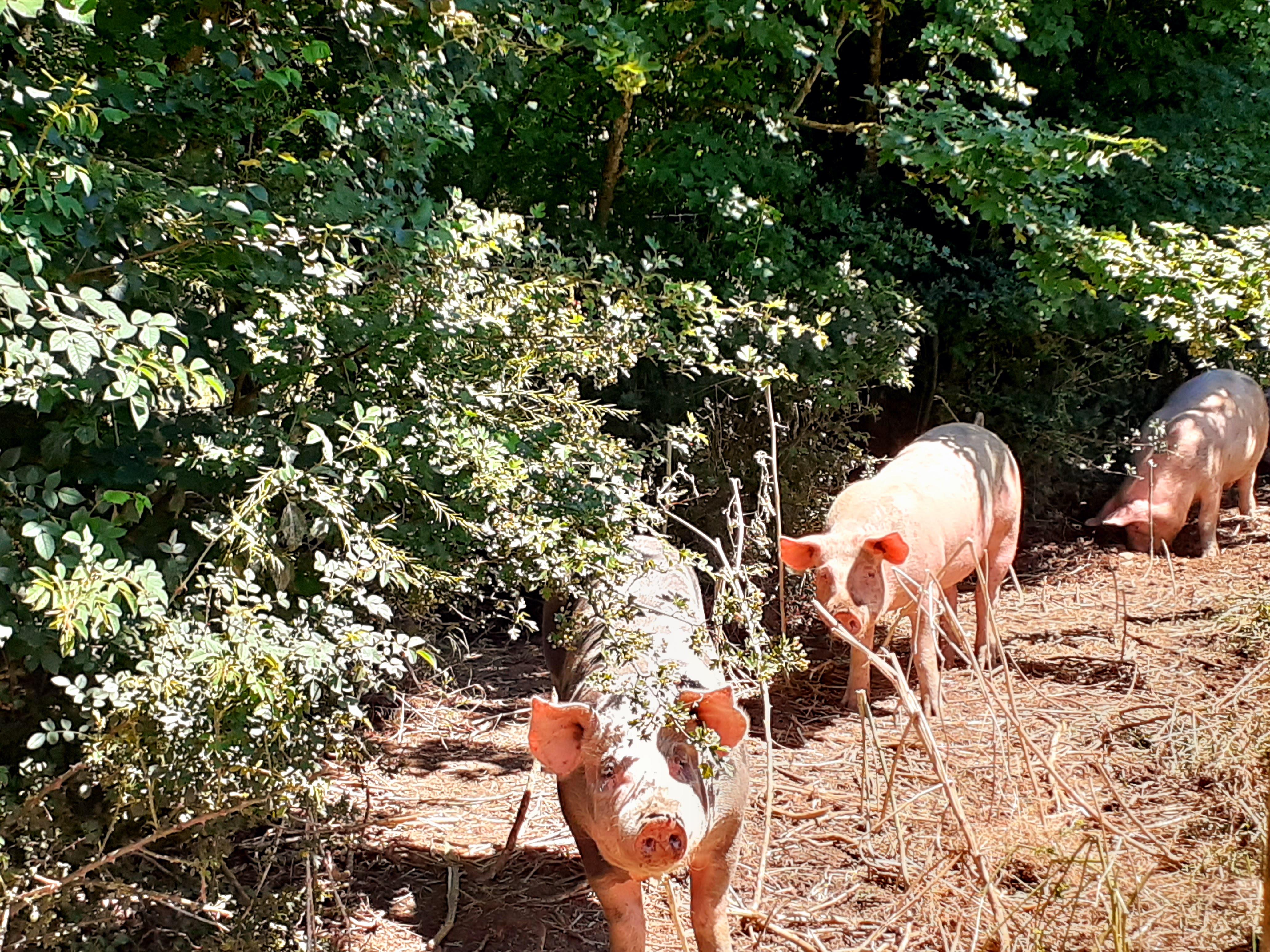 Colis de viande de porc - 5kgs