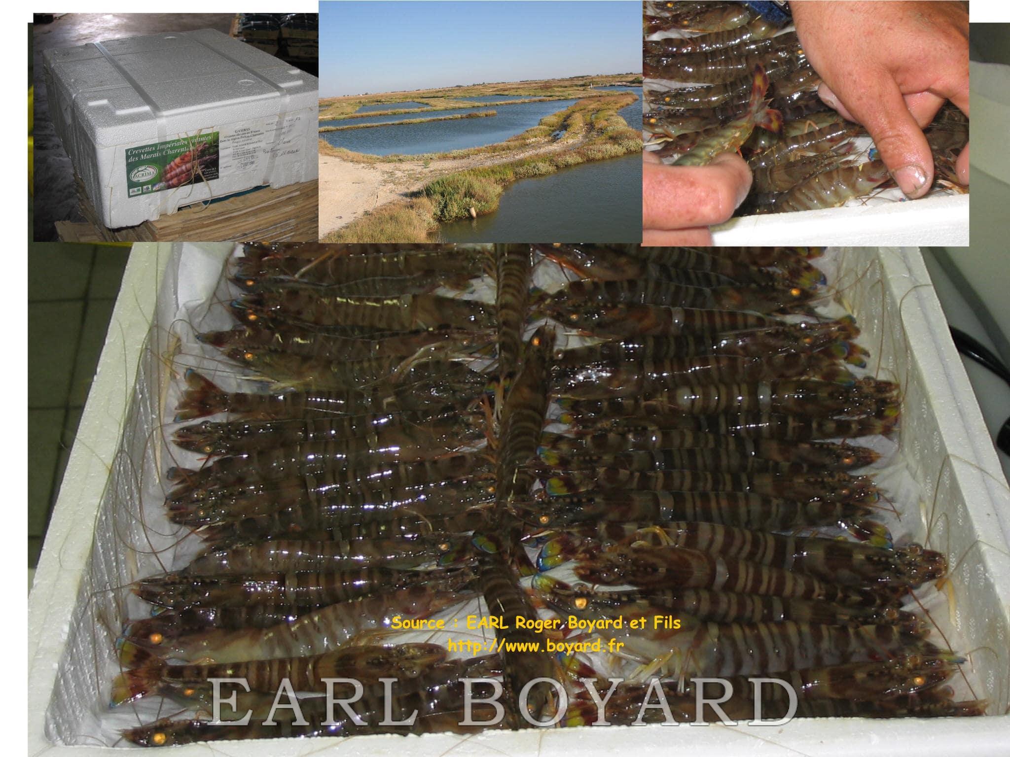 Crevettes impériales des marais charentais