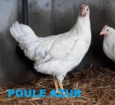 Poule AZUR aux oeufs bleu