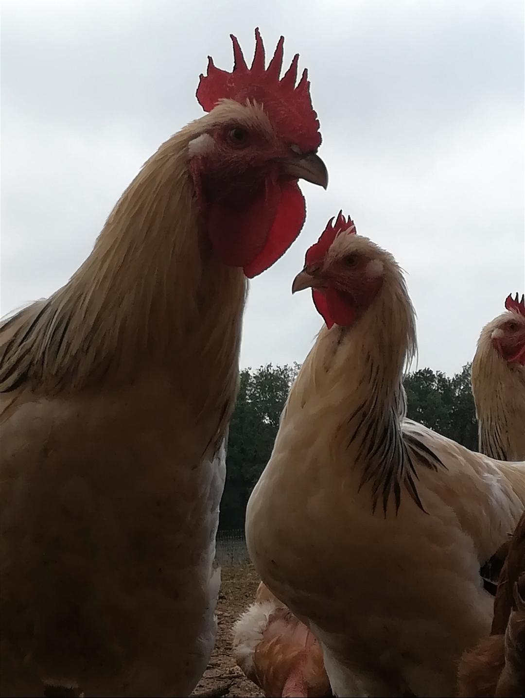 Poules pondeuses et coqs reproducteurs